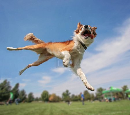 australian shepherd collie jumping