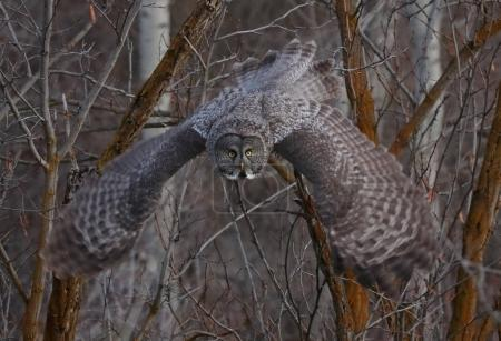 a great gray owl hunting in a ravine