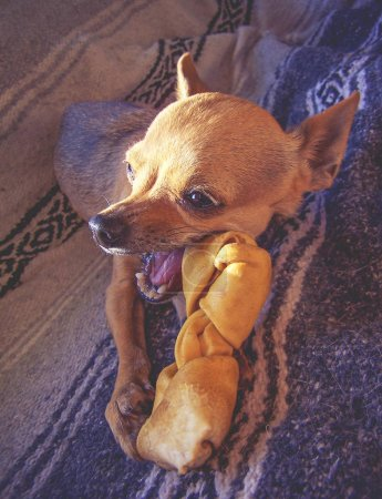 a cute chihuahua puppy chewing on a rawhide bone in front of a w
