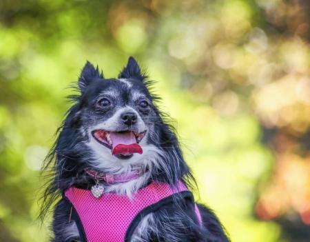 a cute pomerainian panting in the sun while sitting outside on a