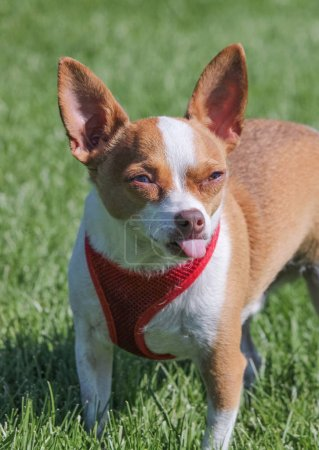 a cute chihuahua in a local park in the green grass with his ton