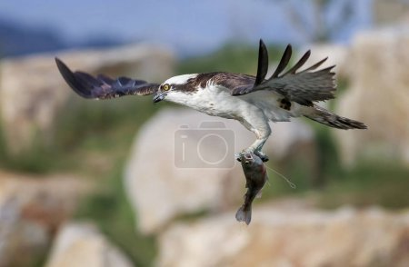 a beautiful photo of an osprey with a fish in its talons