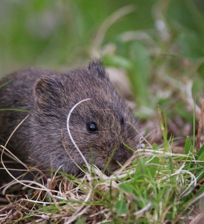 a cute small vole eating grass in a local wildlife sanctuary par