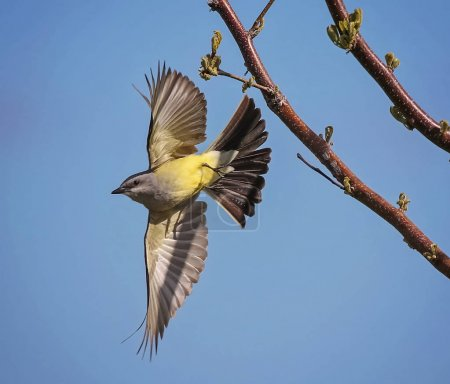 a western kingbird taking off from a tree branch on a warm sunny