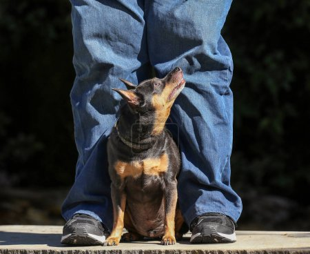 a cute chihuahua mix looking up at his owner on a sunny day in a