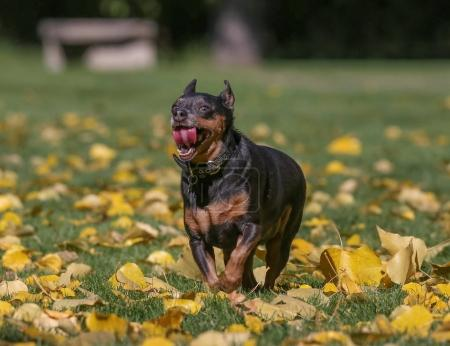 a cute chihuahua mix running through leaves at a park with a per