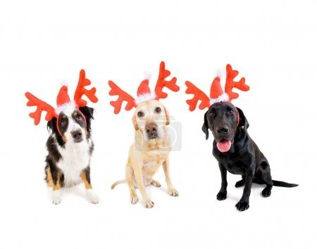 three christmas dogs wearing festive antlers isolated on a white