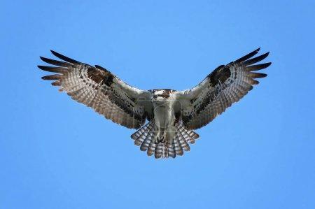 Photo pour Un balbuzard à la recherche de nourriture alors qu'il plane et vole dans le ciel - image libre de droit