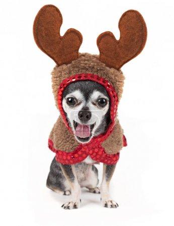 cute chihuahua in a reindeer costume