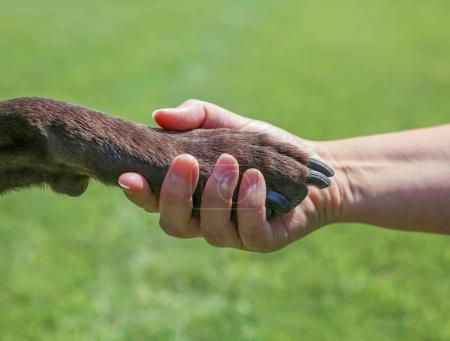woman holding the paw of a chocolate labrador retriever outdoor at a park in summer time representing love, friendship, training, companionship, teamwork or other concepts in a natural background
