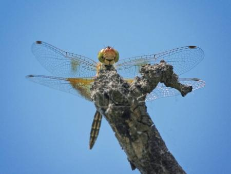 beautiful and colorful dragonfly in a natural setting environment looking for insects or other food