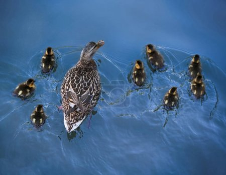 a mother duck and her baby ducklings swimming under a bridge in a local park pond