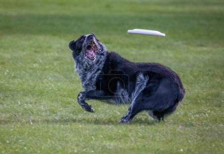dog playing fetch in a local public park
