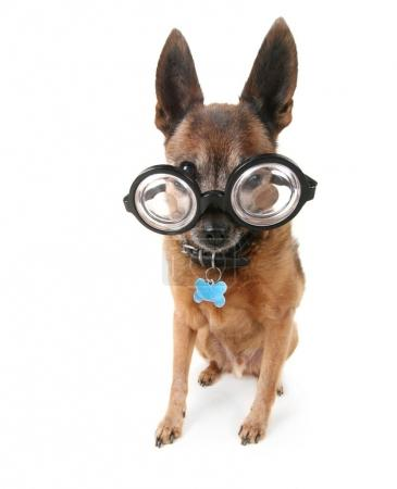 cute chihuahua mix with giant glasses on