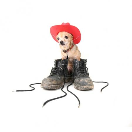 tiny chihuahua with big boots on his feet