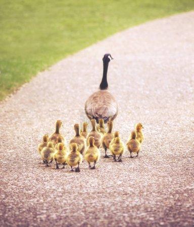 Photo pour Jolie famille d'oies marchant sur un chemin de galets dans un parc animalier local - image libre de droit