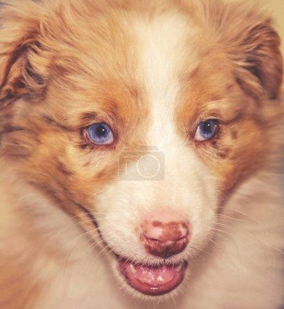 un Berger australien heeler chiot chien avec sa bouche ouvrir fermer tonique avec un filtre instagram vintage rétro