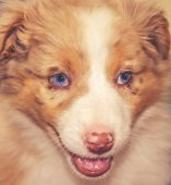 an Australian shepherd heeler puppy dog with its mouth open close up toned with a retro vintage instagram filter