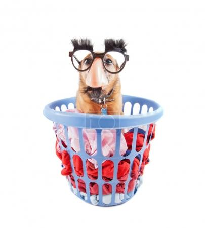 cute chihuahua sitting in a laundry basket with black glasses on studio shot isolated on a white background