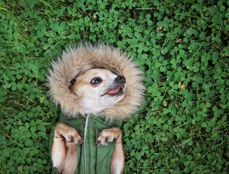 cute chihuahua lying in green grass with clover wearing a fur like jacket hoodie