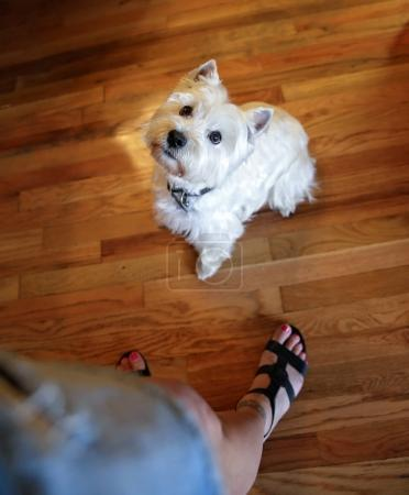 cute west highland terrier begging for a treat at her owner's feet on a hardwood floor in ambient light