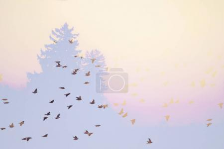 double exposure of a flock of cedar and bohemian waxwings flying by pine trees toned with a retro vintage instagram filter