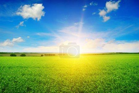 Photo for Beautiful sunrise over field pea - Royalty Free Image