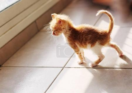 Cute red kitten