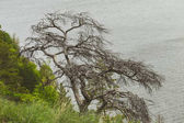 Dried branched pine on the cliff