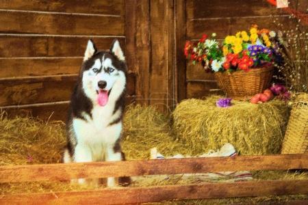 Dog breed Siberian husky, symbol of New 2018 year