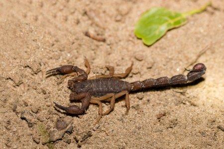 Скорпионы хищные паукообразные Мадагаскар
