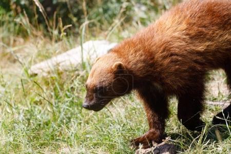 Photo pour Le carcajou (Gulo gulo) est aussi appelé le glutton, le carcajou, l'ours mouffette ou l'éclosion rapide. Carnivore, ressemblant plus étroitement à un petit ours . - image libre de droit