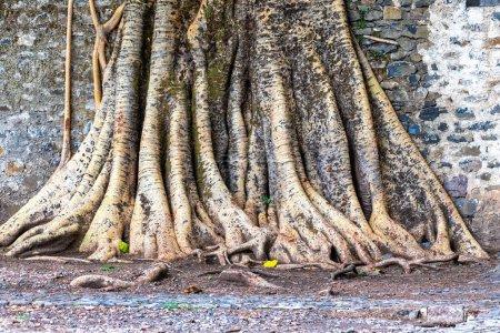 Photo pour Gondar, Ethiopie, Fasil Ides Bath, un enchevêtrement de racines massives de tronc dans une piscine du royaume . - image libre de droit