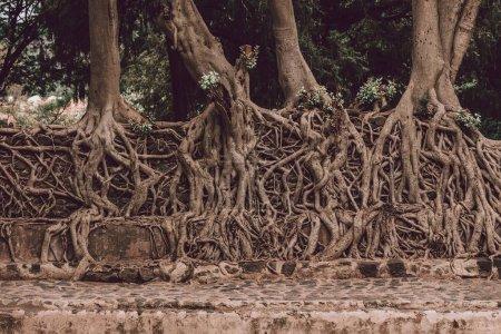 Photo pour Enchevêtrement de racines massives du tronc dans le bain Fasil Ides, piscine du royaume. Gondar, Éthiopie - image libre de droit