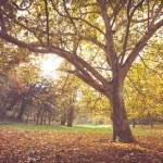 Landscape of autumn park with huge oak tree...
