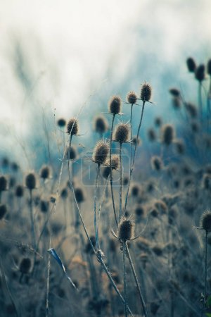 Photo for Dry thistle in winter autumn  field closeup - Royalty Free Image