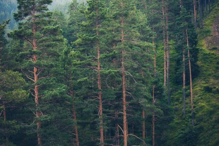 Photo for Forest of evergreen trees in mountain nature background - Royalty Free Image