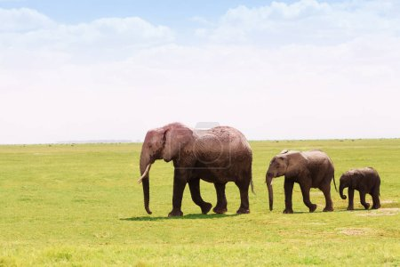 African elephants moving towards swamps