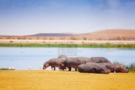 Group of hippopotamus near lake
