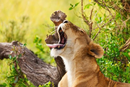 Tired lioness with opened mouth