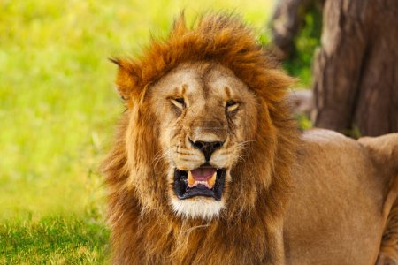 lion with opened mouth on nature