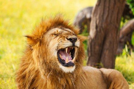 old yawning lion on nature