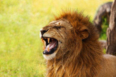 yawning lion on nature