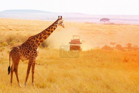 giraffe looking at safari jeep at sunset