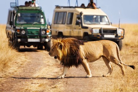 lion crossing road at African savannah