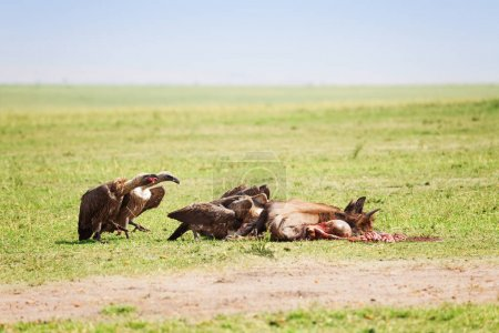Vultures flock eating carcass of wildebeest