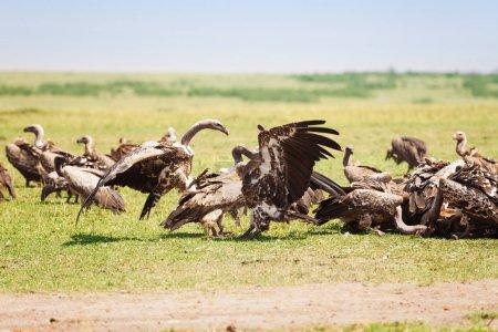 Vultures herd crowding on wildebeest carcass