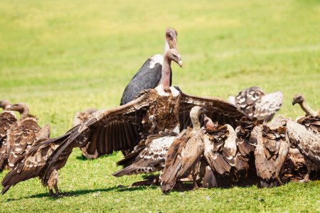 Vultures crowds on kill with marabou in background