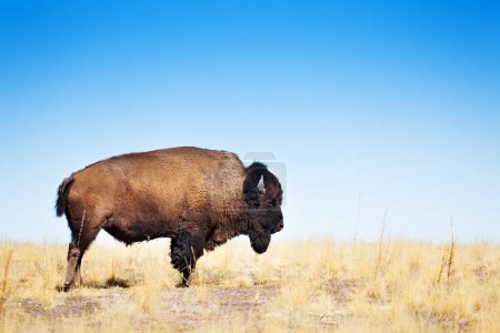 American bison in dry grass