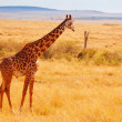 Постер, плакат: Kenyan savannah with giraffe